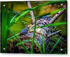 Frog On A Log 1 Acrylic Print