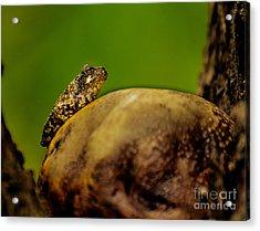 Frog Waits Acrylic Print