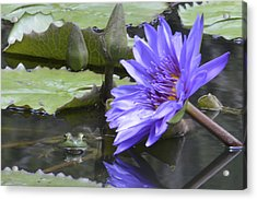 Frog With Water Lily Acrylic Print by Linda Geiger