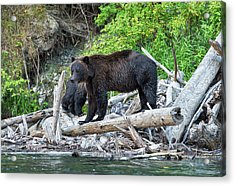 From The Great Bear Rainforest Acrylic Print by Scott Warner
