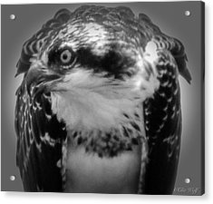 From The Series The Osprey Number Two Acrylic Print