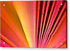 Fron Fan Unfolding Acrylic Print by Gwyn Newcombe