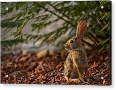 Acrylic Print featuring the photograph Frontyard Bunny by Dan McManus