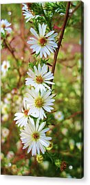 Frost Aster Acrylic Print