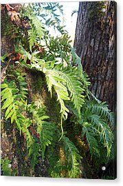 Frost On Ferns Acrylic Print by Ken Day