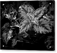 Frosted Hosta Acrylic Print