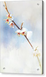 Frosted Witch Hazel Blossoms  Acrylic Print