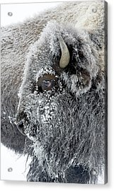 Frosty Bison Acrylic Print