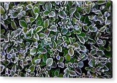 Frosty Hedgerow Acrylic Print