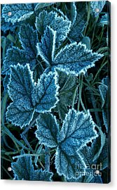 Acrylic Print featuring the photograph Frosty Ivy by Garnett  Jaeger