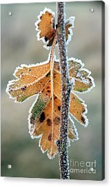 Frosty Leaf Acrylic Print