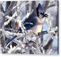 Frosty Morning Blue Jay Acrylic Print