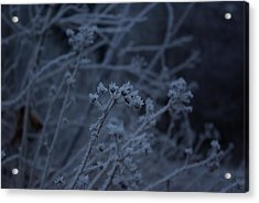 Frozen Buds Acrylic Print