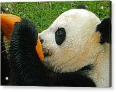 Frozen Treat For Mei Xiang The Giant Panda Acrylic Print