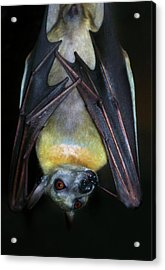Acrylic Print featuring the photograph Fruit Bat by Anthony Jones