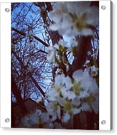 Fruit Trees In Bloom. #spring #fruit Acrylic Print