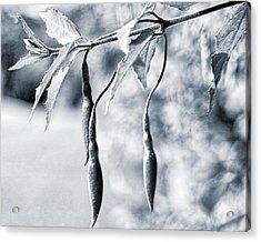Fuchsia Bud Acrylic Print by Keith Elliott