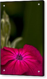 Fuchsia Delight Acrylic Print by Daniel G Walczyk