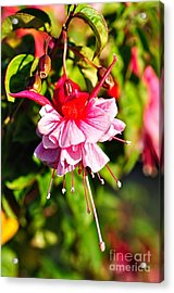 Fuchsia Enjoying The Sunshine Acrylic Print by Kaye Menner