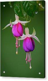 Acrylic Print featuring the photograph Fuchsia Flower, Nuwara Eliya, 2012 by Hitendra SINKAR