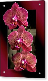 Fuchsia Orchids Oof Acrylic Print by Phyllis Denton