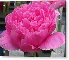 Fuchsia Peony Acrylic Print