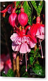 Fuchsias With Droplets Acrylic Print