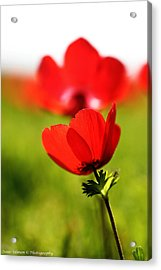 Full Bloom Anemone Acrylic Print by Isaac Silman