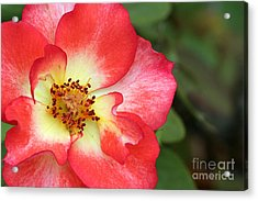 Full Bloom Acrylic Print by Jeannie Burleson
