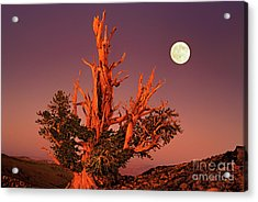 Acrylic Print featuring the photograph Full Moon Behind Ancient Bristlecone Pine White Mountains California by Dave Welling