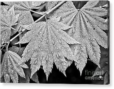 Full Moon Maple Leaf After A Spring Rain Acrylic Print