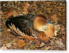 Fulvous Whistling Duck Acrylic Print by Judy Palkimas