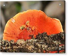 Fungi Pycnoporus Coccineus Acrylic Print