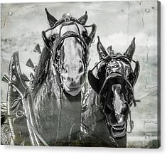 Acrylic Print featuring the photograph Funny Draft Horses by Mary Hone