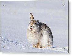 Funny Face - Mountain Hare - Scottish Highlands  #13 Acrylic Print