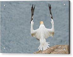 Funny Gannets Acrylic Print by Svetlana Sewell