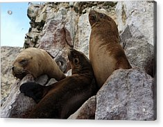Fur Seals On The Ballestas Islands, Peru Acrylic Print by Aidan Moran