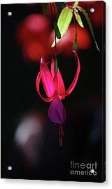 Fuschia Backlit Buchart Gardens Victoria Acrylic Print