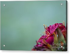 Fuchsia In Bloom Acrylic Print by Andrea Silies