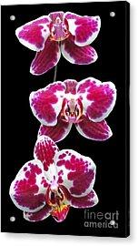 Fuschia Orchid Triplets Acrylic Print