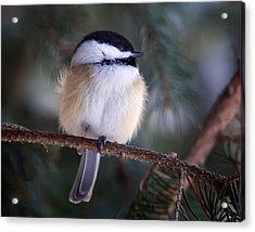 Fuzzy Chickadee Acrylic Print