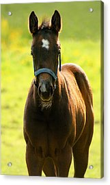 Acrylic Print featuring the photograph Fuzzy Colt by Angela Rath