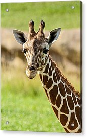 G Is For Giraffe Acrylic Print by John Haldane