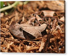 Gaboon Viper Acrylic Print by Dana  Oliver