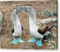 Galapagos Blue-footed Boobies Dance Acrylic Print