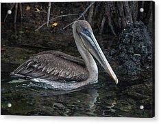 Galapagos Pelican Acrylic Print