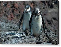 Galapagos Penguins  Bartelome Island Galapagos Islands Acrylic Print