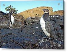 Galapagos Penguins Acrylic Print by Sami Sarkis