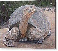 Galapagos Tortoise Acrylic Print by Jeffrey Oldham