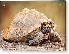 Galapagos Tortoise Side View Acrylic Print by Susan Schmitz